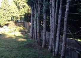Large cedar hedge